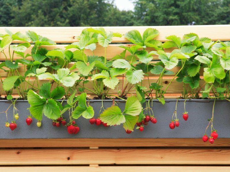 winterharte erdbeeren gedeihen auf dem balkon beauty pinterest garten pflanzen und balkon. Black Bedroom Furniture Sets. Home Design Ideas