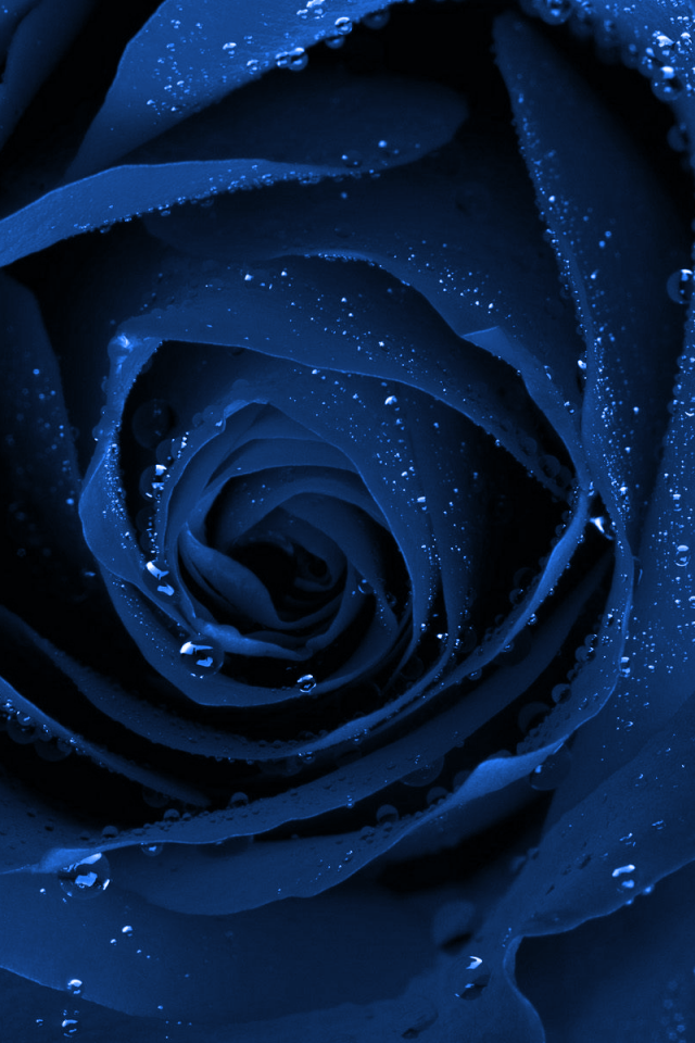 Blue Rose I Really Like How Water Sits On A Flower Blue Roses
