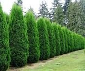 emerald green tree fence line privacy shrub tree tree. Black Bedroom Furniture Sets. Home Design Ideas