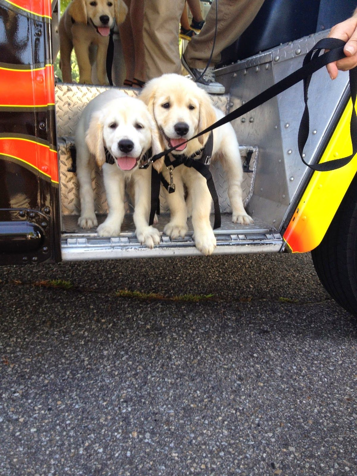 Vroom Vroom Service dogs, Puppies, Dogs
