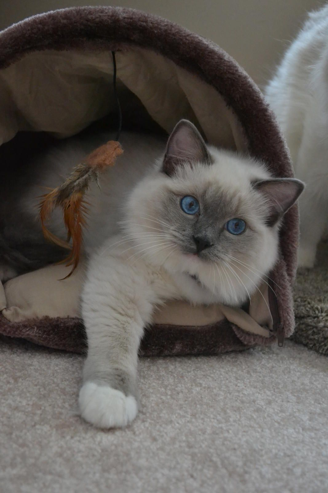 Ragtown Cattery - Ragdoll Cats, Ragdoll Kitten Breeder ...