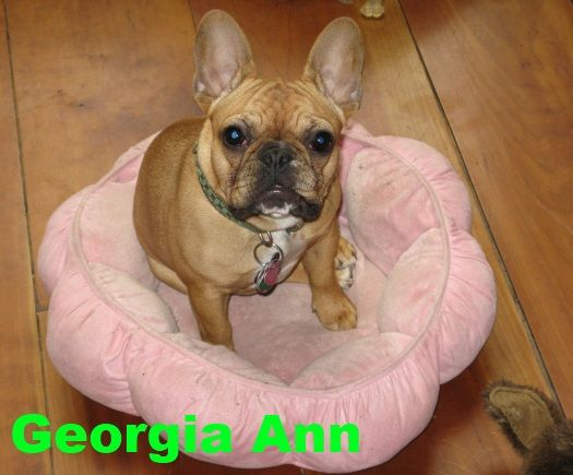 Bluegrass Frenchies Of Richmond Ky French Bulldog Animals Dogs