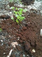Coffee Grounds As Mulch Around Young Carrot Plants How To Plant