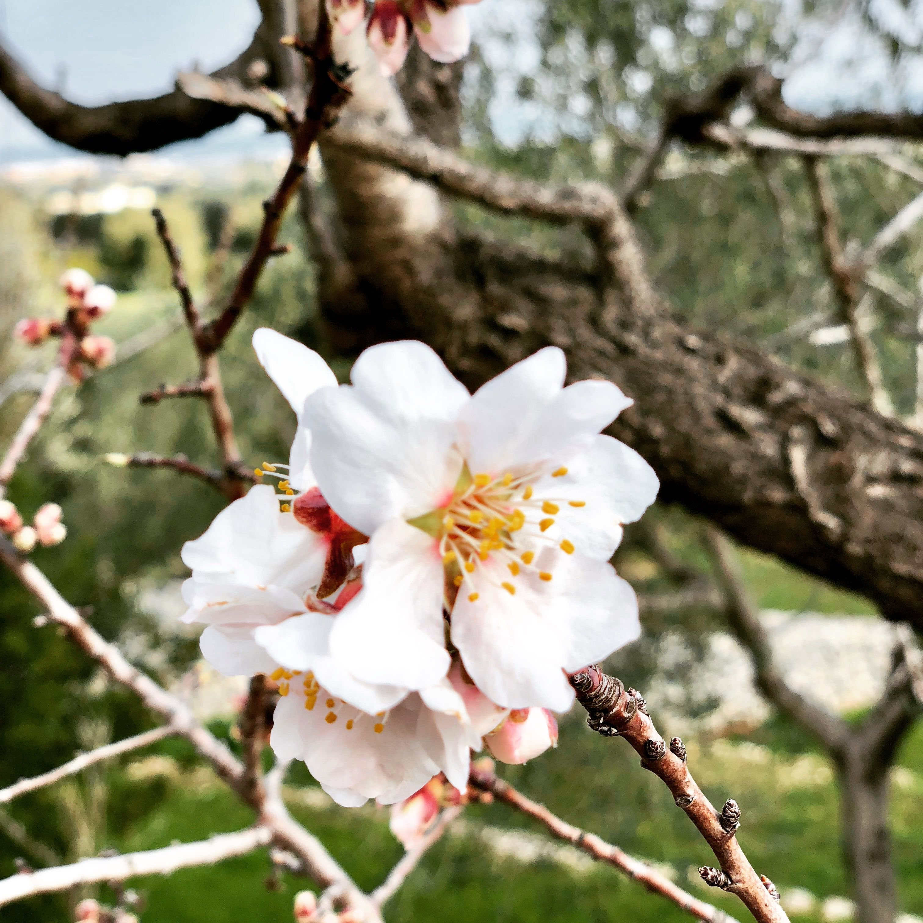 Blooming almond trees in Puglia Springtime in the South of Italy A wonderful place for lache for your next holiday: www.fiancoafianco.eu