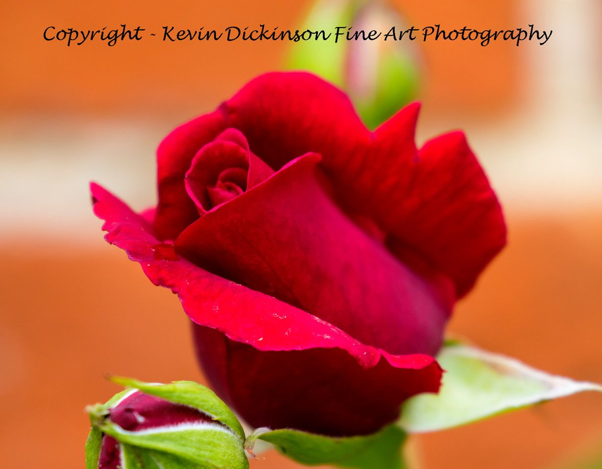 Red Rose Mottisfont Garden  Kevin Dickinson fine art photography, canon photography, buy floral art, buy floral photography