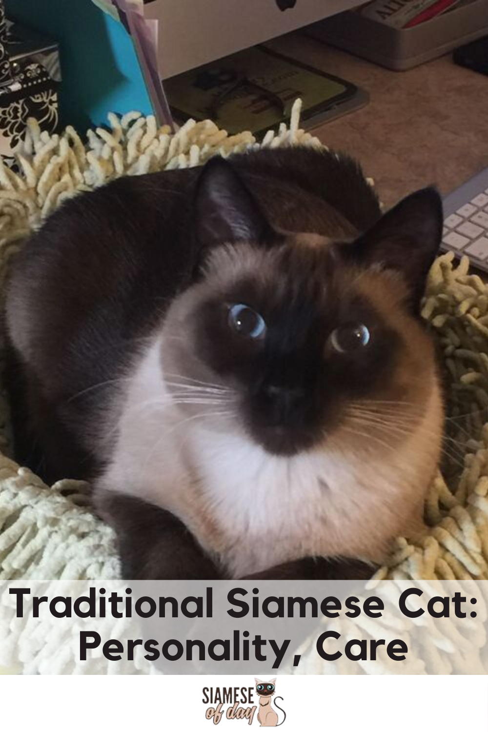 Traditional Siamese Cat Personality, Care And Training in