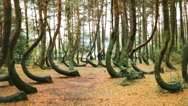 """Hunderte seltsam geformte Bäume geben im Nordwesten Polens Rätsel auf. Als einen """"einmaligen und mysteriösen Ort"""" beschrieb die Nachrichtenagentur PAP am Wochenende den sogenannten """"Krummen Wald"""" bei der Gemeinde Gryfino (Greifenhagen). Schauen Si..."""
