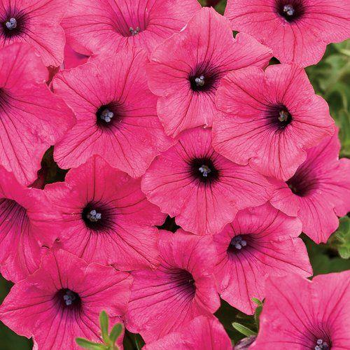 Surfinia Deep Red Petunia Hybrid Petunias Flowers That