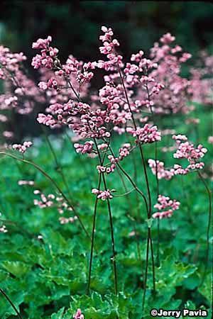 Coralbell alumroot shade perennials flower images and perennials coralbell alumroot preannual flowersshade mightylinksfo