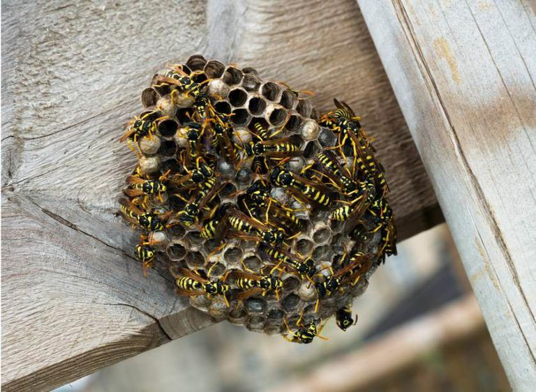 How to Get Rid of Wasps In Your Garden Wasp nest, Get