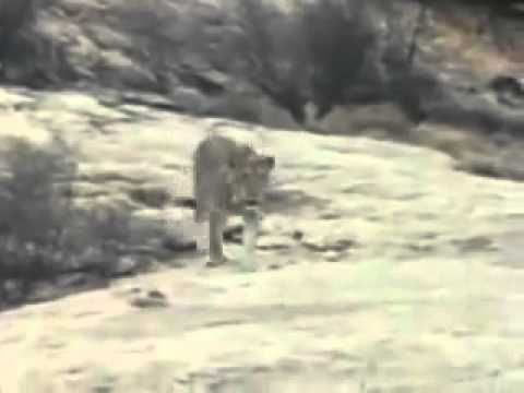 Christian The Lion  meets its owners after a long time - Video posted by Dariusz