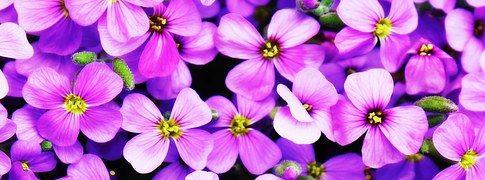 Kukat, Violetti, Blütenmeer