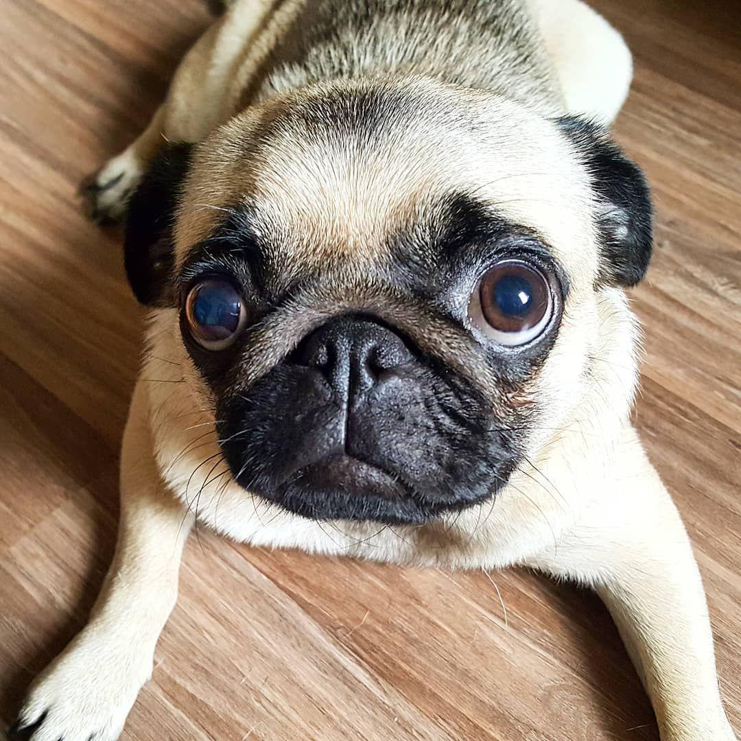 Goodmorning Cutenessoverload Mops Mopsliebe Pug Pugs