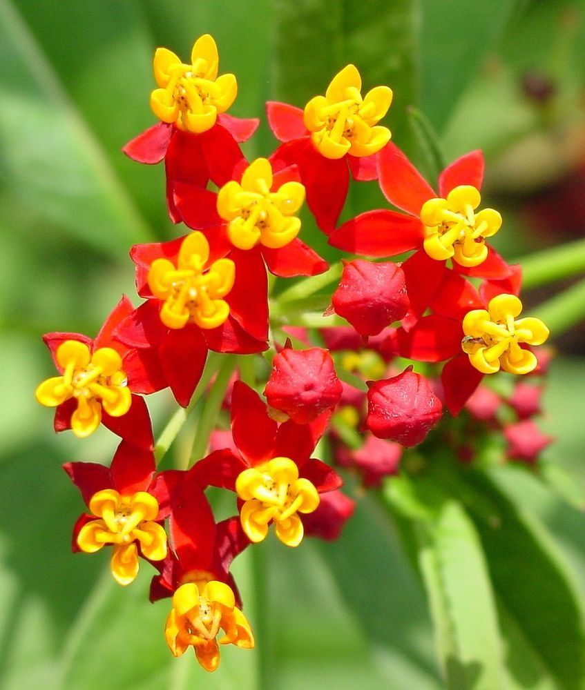 BLOODFLOWER//SUNSET FLOWER//MEXICAN MILKWEED  50 FRESH SEEDS FREE SHIPPING
