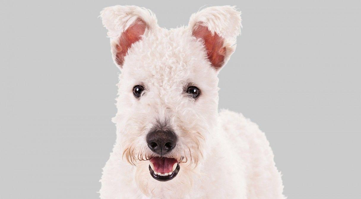 Pumi Dog Breed Information | Dog breeds, Pumi dog and Dog