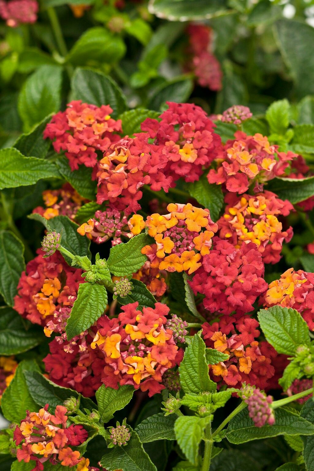 Lovely Lantana Reminds Me Of Late Summer Afternoons In North Florida