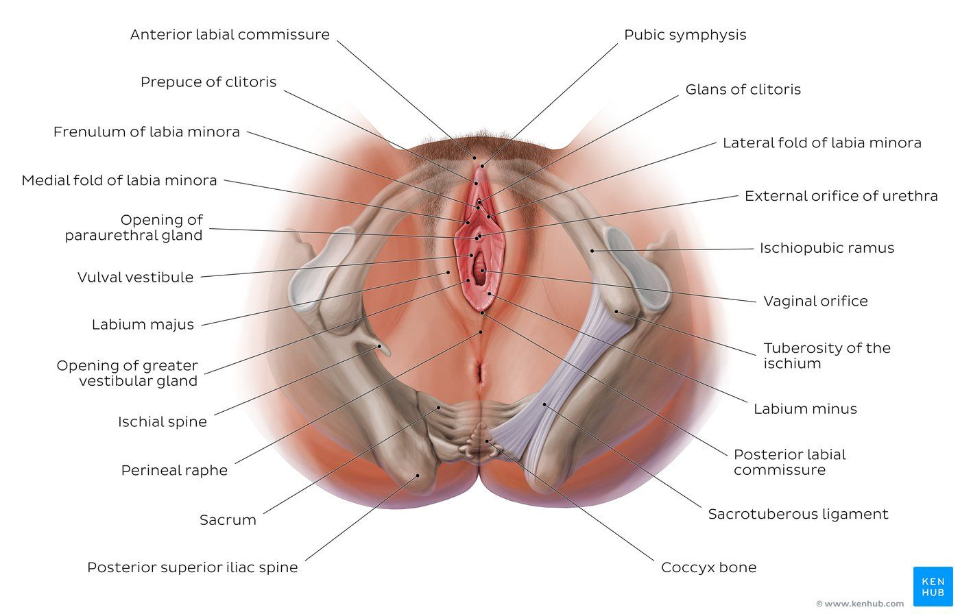medium resolution of diagram pictures female perineum anatomy kenhub