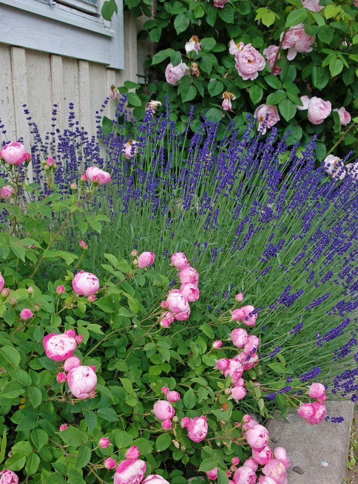 Rosen lassen sich perfekt mit lavendel kombinieren rosen - Gartengestaltung rosengarten ...