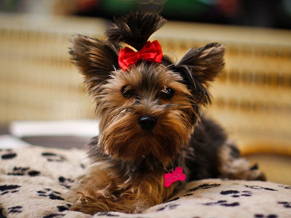 25 Marvelous Yorkie Poo Pictures Slodive Yorkie Poo Female Dog Names Dog Names