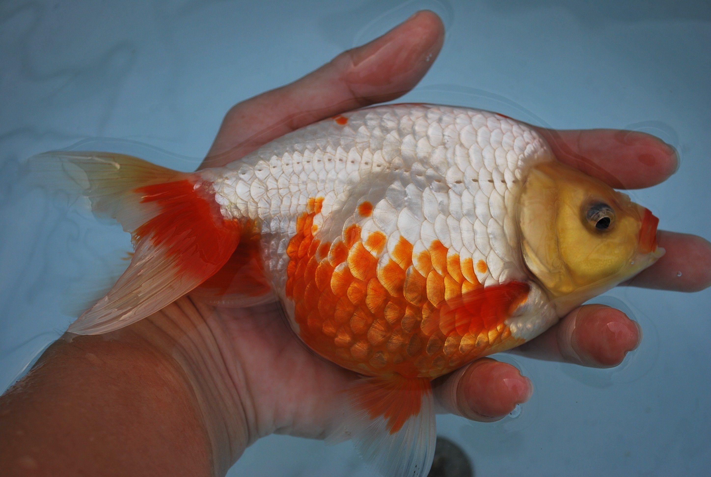 Izumo Nankin Http Zhaosfancies Com Online Goldfish Shop Goldfish Goldfish For Sale Buy Goldfish