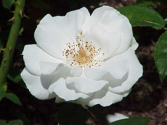 Rosa Sp 188 Kulturrosen Wikipedia