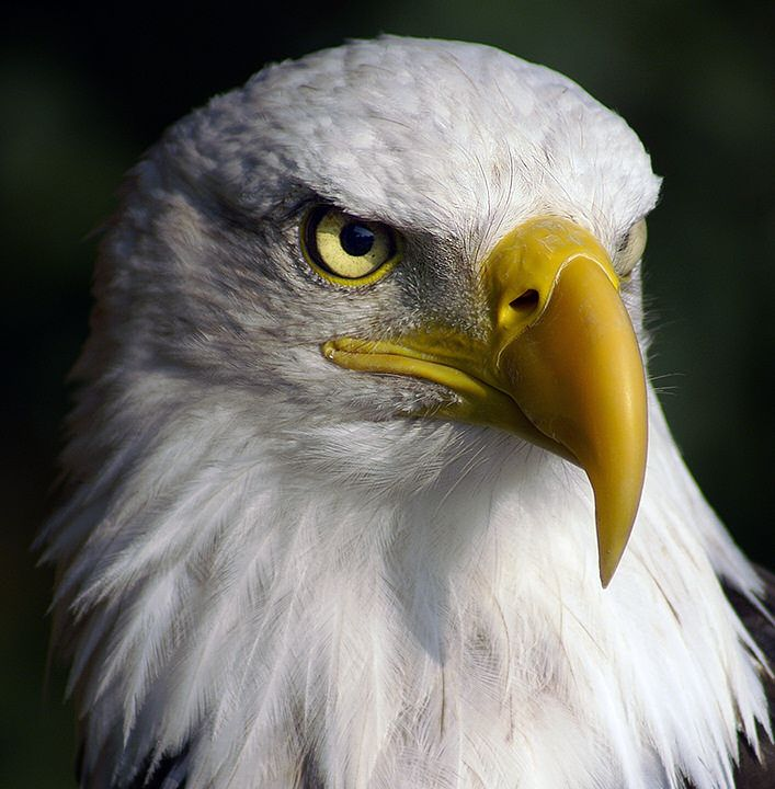 Non Copyrighted Imahes Non Copyrighted Images Leavase Bald Eagle Pet Birds Eagle