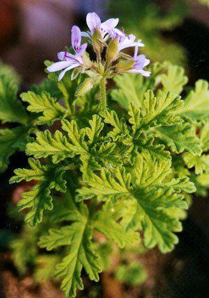 Una Maravilla Llamada Malva Rosa Plantas Medicinales Hierbas Hierba Medicinal