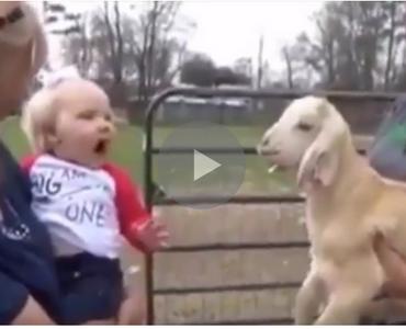 Funny Goats Screaming like Humans on Make a GIF  Mom Screaming Goats Funny