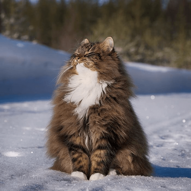 Cat Medley Funnies Cuteness Galore Mourning And Loss Norwegian Forest Cat Forest Cat Norwegian Forest