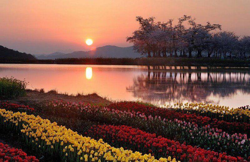 Sunset tulip field... Landscape, Nature photos, Garden