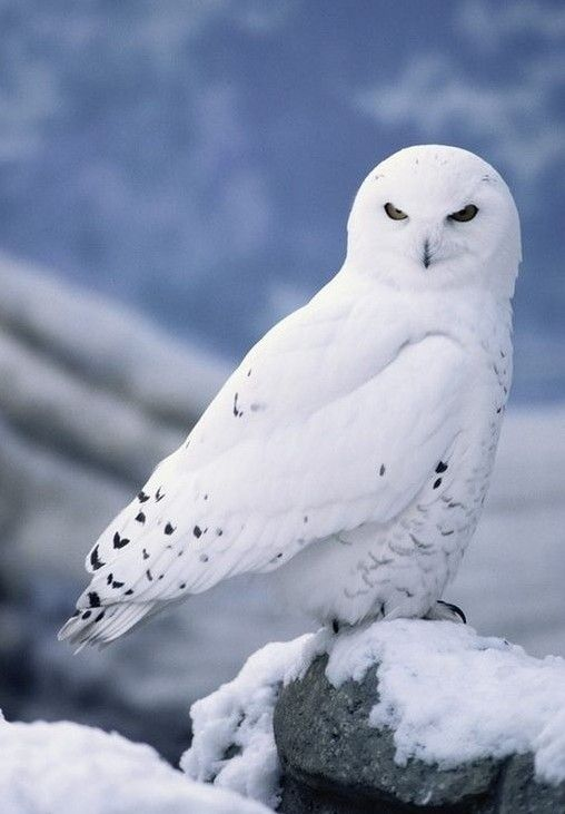 Pin By O Drumweaver On The Snowy Owl Totem Pinterest