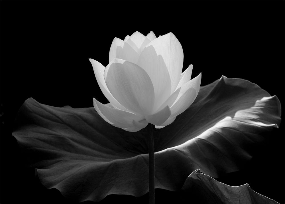 All sizes | White Lotus Flower in black-and-white- IMGP7600 | Flickr ...