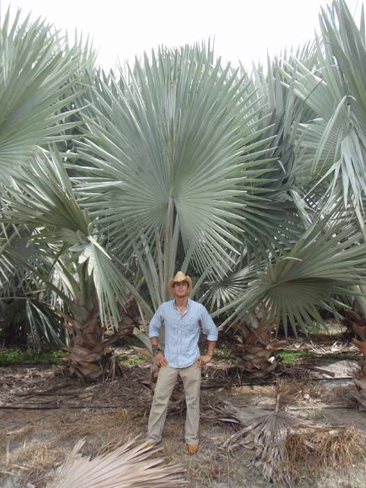 Bismarck Palm Trees Silver Select Realpalmtrees Florida