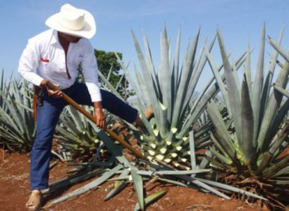 Image result for blue agave plant