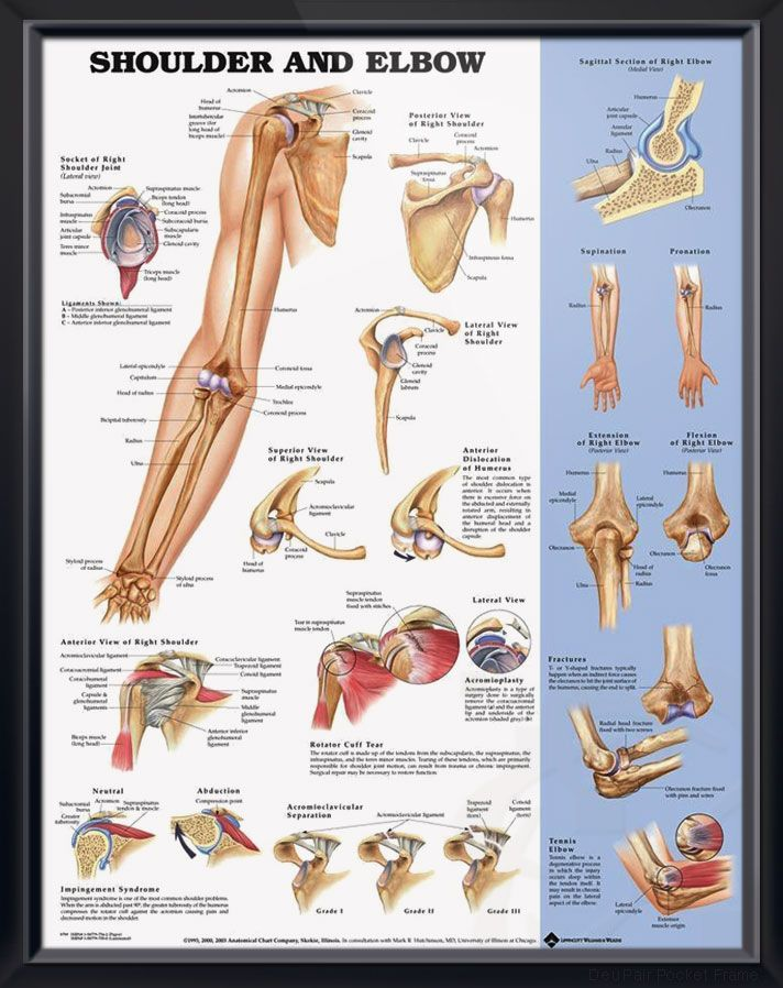 Shoulder and Elbow Chart 20x26 | Pinterest | Anatomy, Muscles and ...
