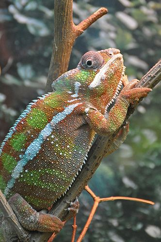 Panther Chameleon Reptile Room Amphibians Animal Planet