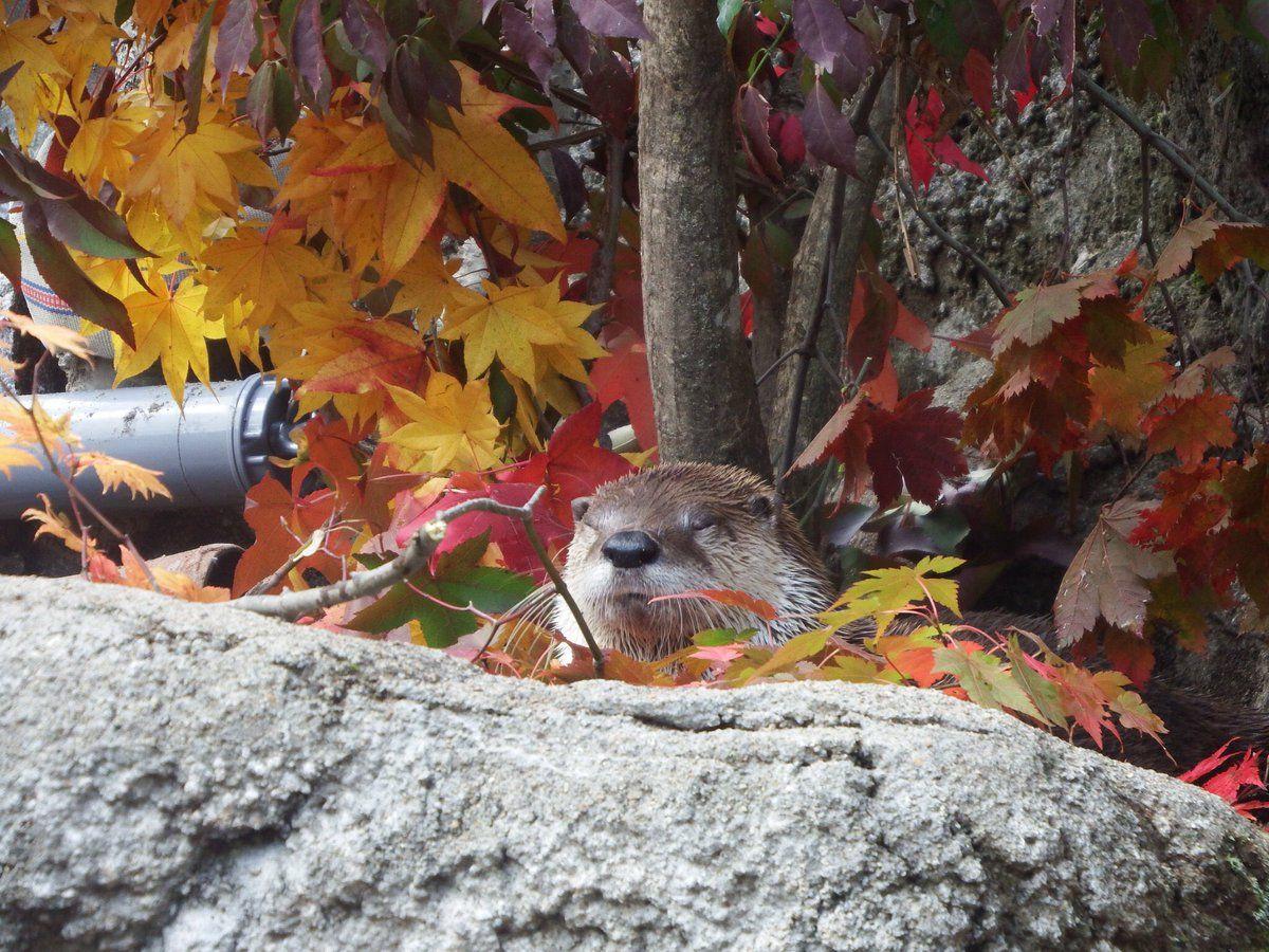 妖怪栗三昧 в Твиттере: «カエデに埋もれるカエデ 盛岡市動物公園 カナダカワウソ 2016/10/29 https://t.co/FyknRWwbAt»