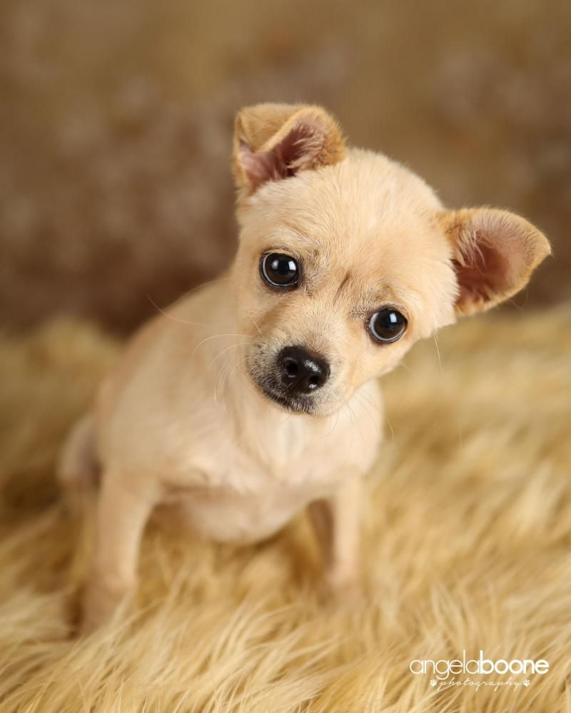 Adopt Corduroy on Petfinder Pets, Chihuahua mix, Dogs