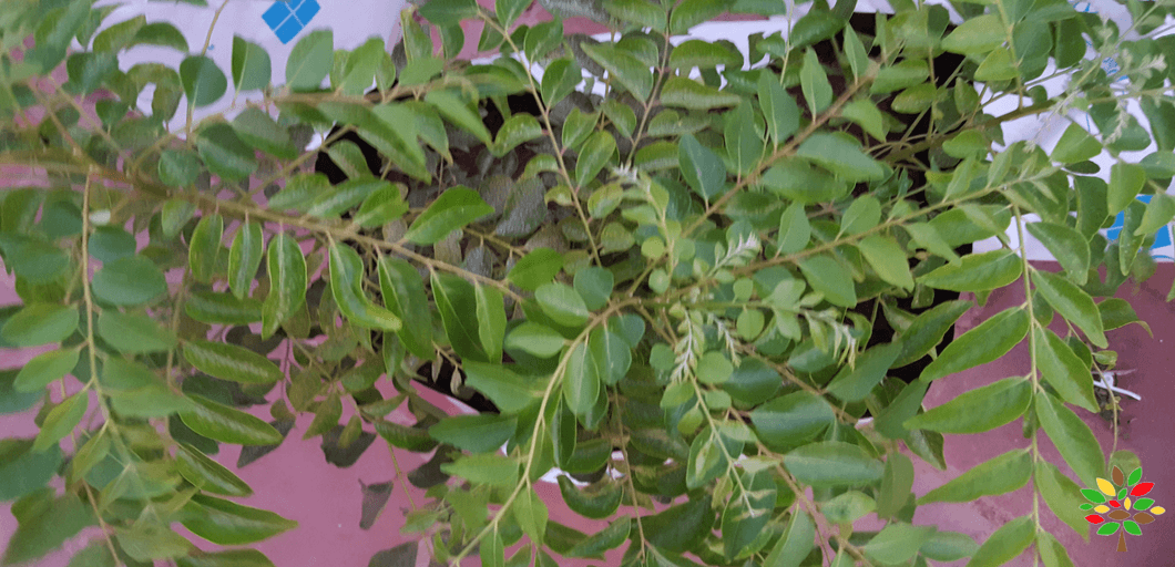 Learn how to grow curry leaf plants in containers - along ...