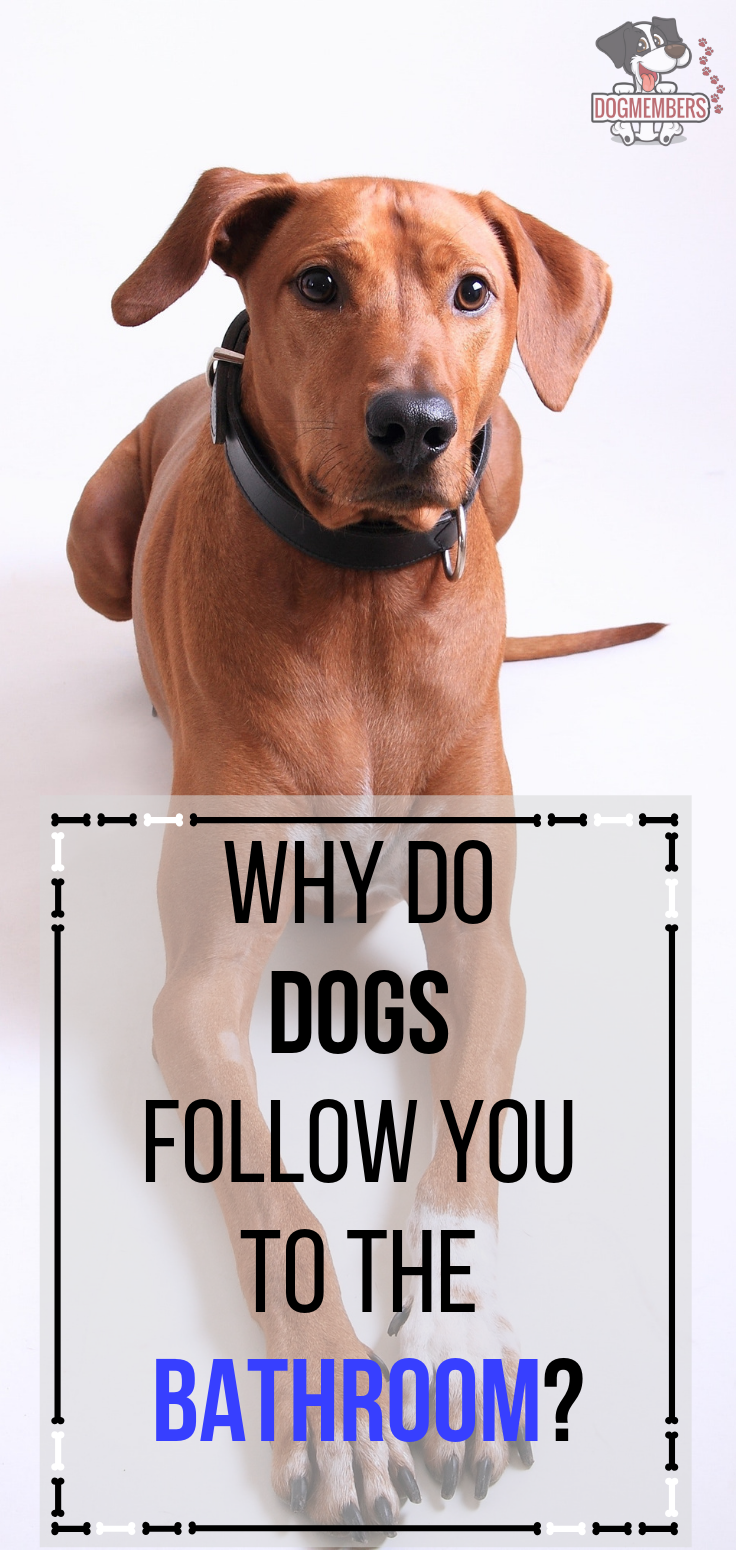 Why Do Dogs Follow You To The Bathroom Here Is The Answer Family Dogs Breeds Dog Health Interactive Dog Toys