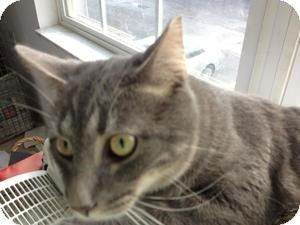 Domestic Shorthair Cat For Adoption In Columbus Ohio Boris Cat Adoption Cats Pet Adoption