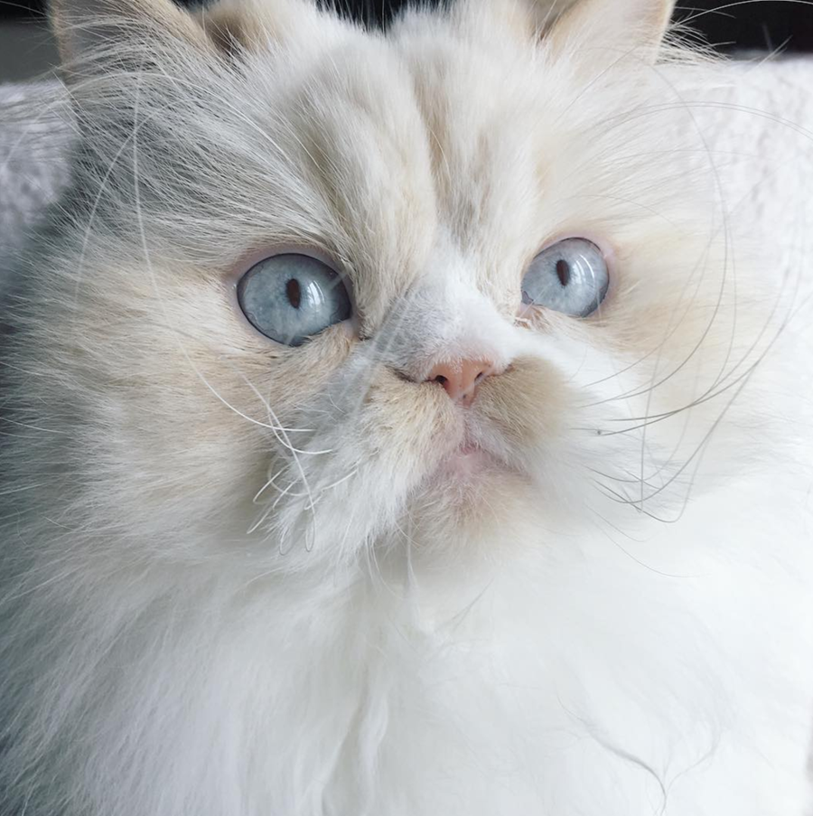 Nice persian kitty. | Chat