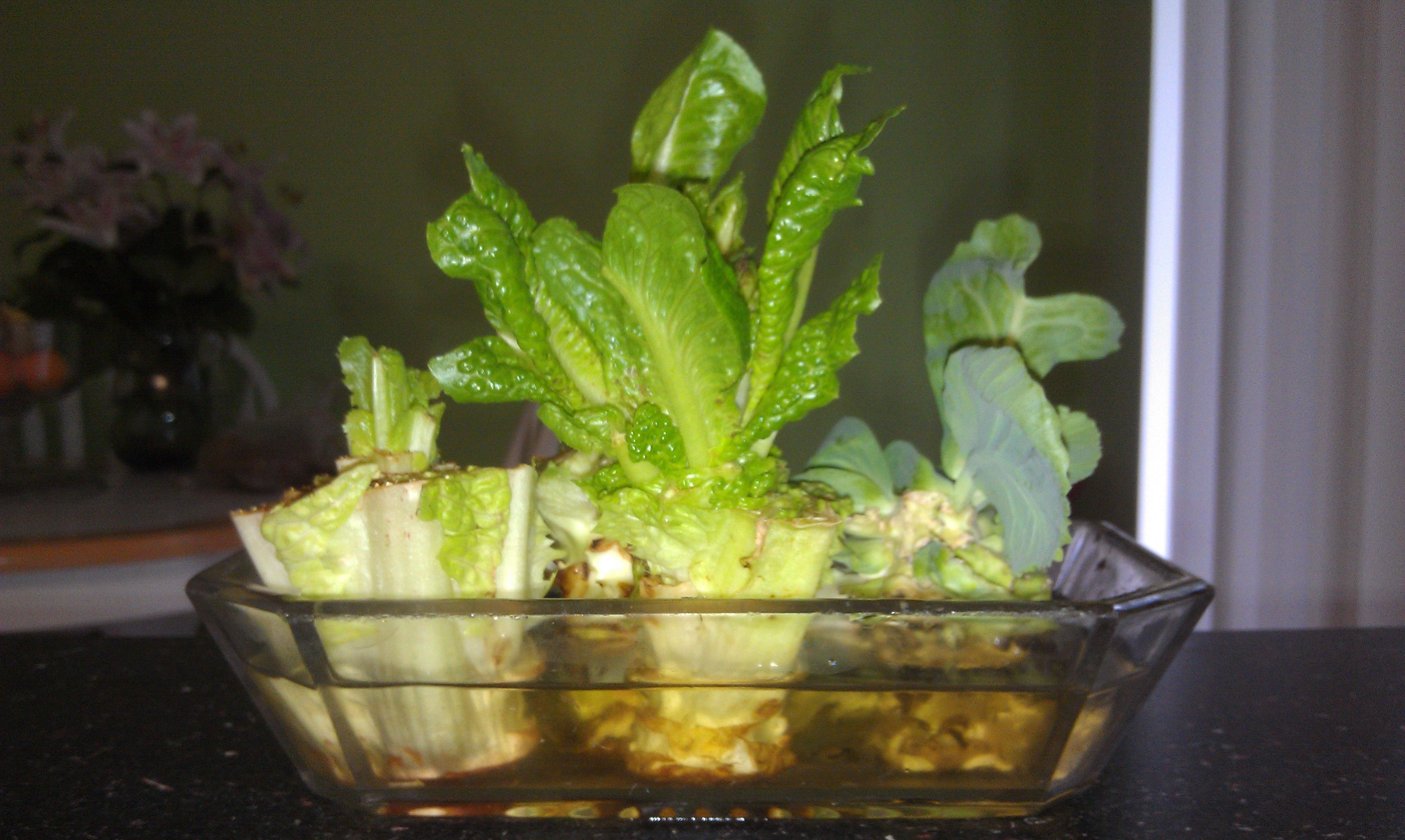 Regrow veggies from the root end of store bought produce - How to store lettuce from garden ...