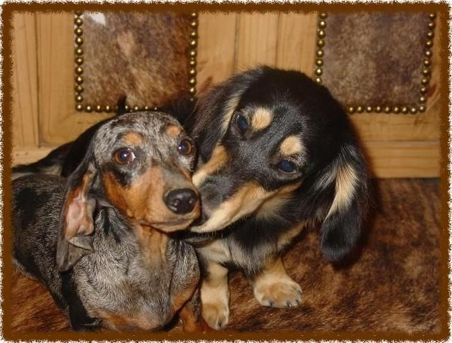 Akc Dachshunds Puppies For Sale In California Cloud 9 Dachshunds