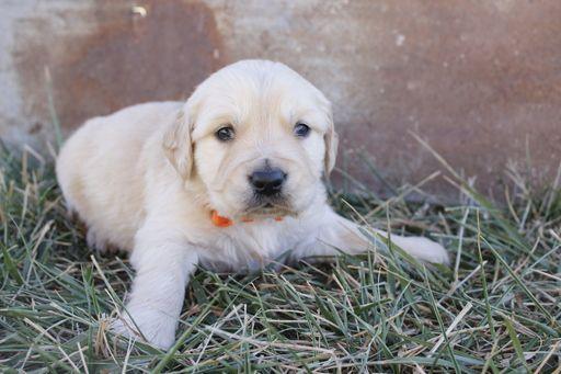 Litter Of 8 Golden Retriever Puppies For Sale In Hillsboro Ks