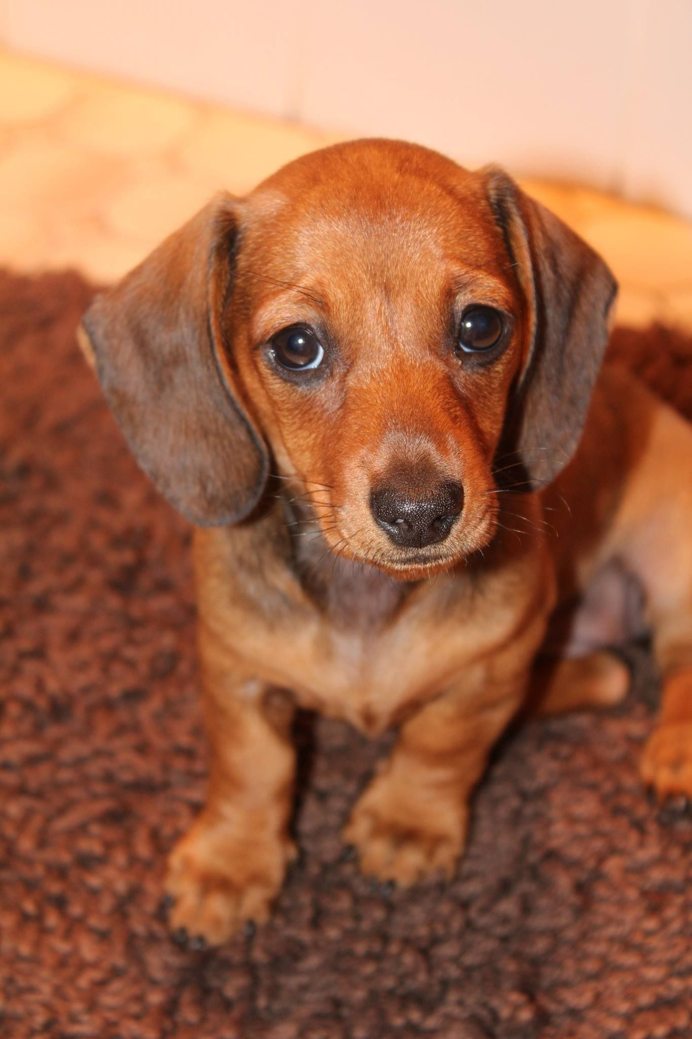 My Baby Yuma Every Home Needs One Of These Dachshund Puppies