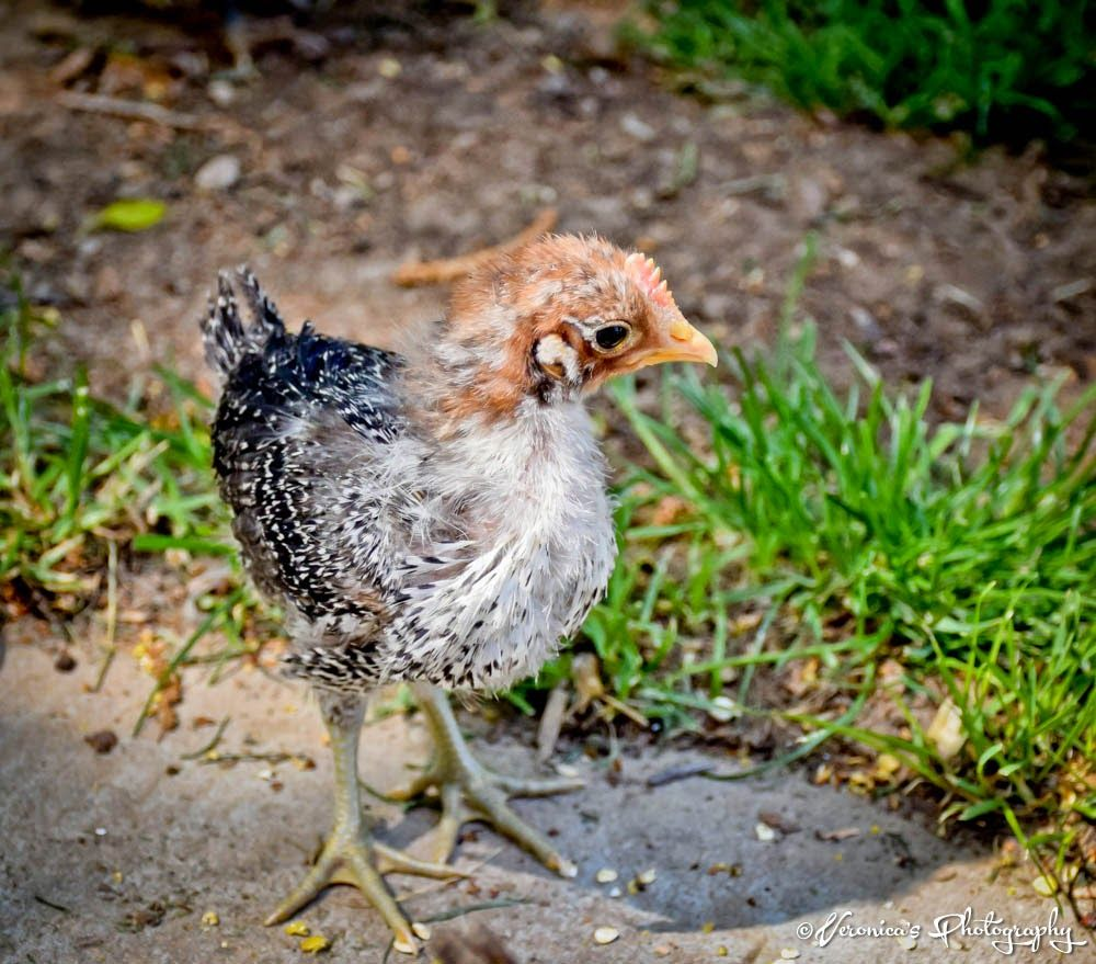 Mommy plus Five: May 5, 2015 - Garden, Chicken Update