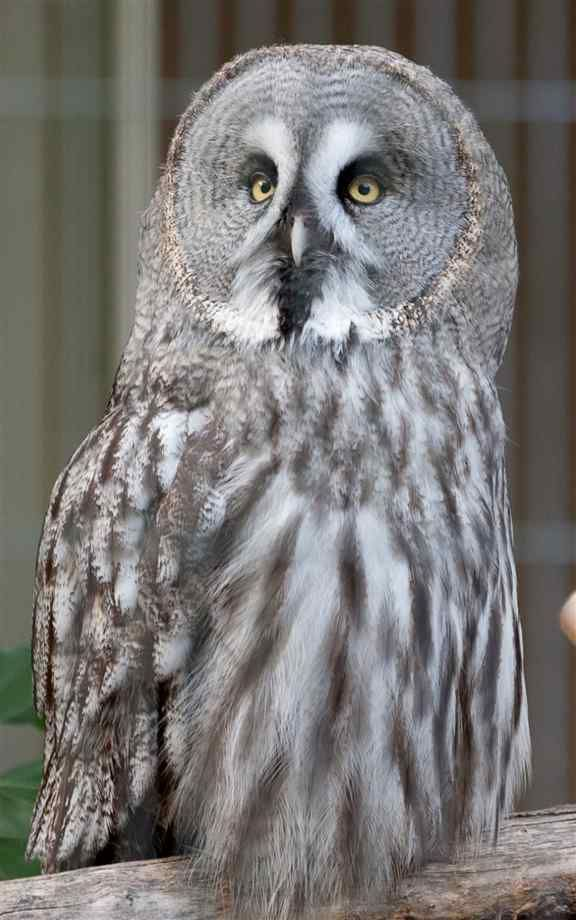 Pin by Heather L Reed on Owls Owl, Great grey owl, Owl