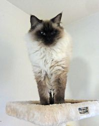 Adopt Coco On Ragdolls Cats Kittens Kittens Cats