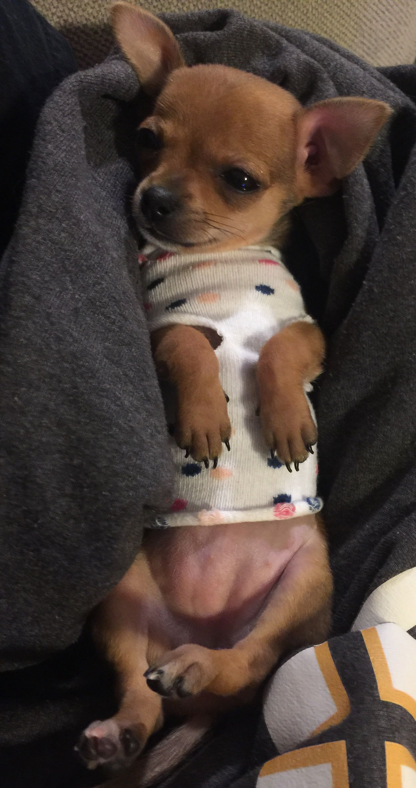 Chihuahua puppy in pajamas Homemade clothes using a baby sock